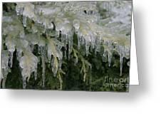 Ice-coated Arborvitae Greeting Card