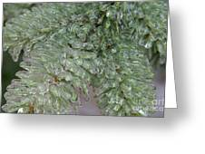 Ice-coated Norway Spruce Greeting Card