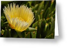 Ice Plant Bloom Greeting Card