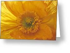 Iceland Poppy 4 Greeting Card