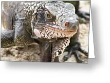 Iguana At Magens Bay Greeting Card