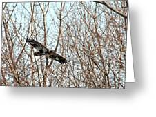 Immature Bald Eagle Flying Greeting Card