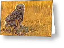 Immature Great Horned Owl Backlit Greeting Card