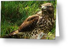 Immature Red Sholdered Hawk Greeting Card