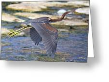 Immature Tricolored Heron Flying Greeting Card