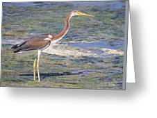 Immature Tricolored Heron Standing At High Tide Greeting Card