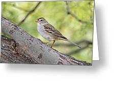 Immature White-crowned Sparrow  Greeting Card