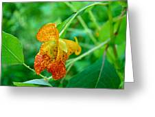 Impatiens Capensis - Orange Spotted Jewelweed Greeting Card
