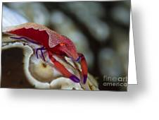 Imperator Commensal Shrimp On Eyed Sea Greeting Card