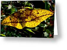 Imperial Moth Din053 Greeting Card