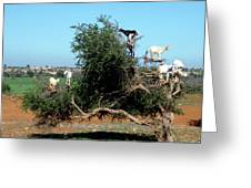 In Morocco Goats Grow On Trees Greeting Card