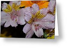 Inca Lily Greeting Card