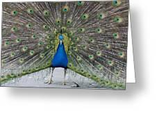 Indian Peacock Greeting Card