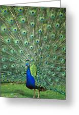 Indian Peafowl Pavo Cristatus Male Greeting Card