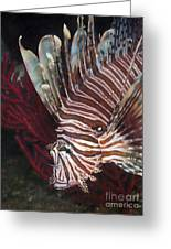 Indonesian Lionfish On A Wreck Site Greeting Card