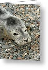 Injured Harbor Seal Greeting Card