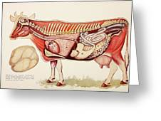 Internal Organs Of A Cow Withn The Greeting Card