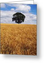 Ireland, Barley Field With Oak Tree Greeting Card