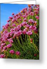 Ireland Close-up Of Seapink Wildflowers Greeting Card