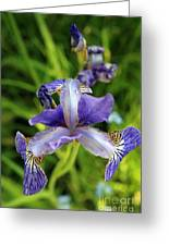 Iris In The Summer Morning Greeting Card