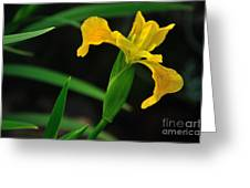 Iris In Yellow Greeting Card