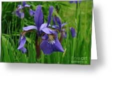 Irises Greeting Card by Randi Shenkman