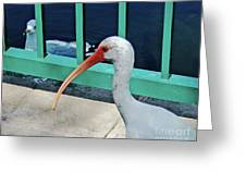 Ivis Ibis And Packy Greeting Card