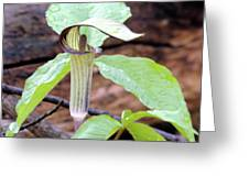Jack-in-the-pulpit Greeting Card