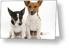 Jack Russell Terrier Dog, Rockie Greeting Card