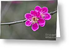 Japanese Flowering Apricot. Greeting Card