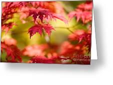Japanese Maple Greeting Card