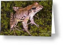Japanese Ranid Frog Greeting Card