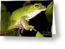 Japanese Rhacophoprid Frog Greeting Card