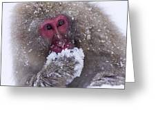 Japanese Snow Monkey Greeting Card