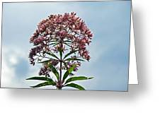 Joe-pye Weed Wildflower - Eupatorium Greeting Card