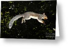 Jumping Gray Squirrel Greeting Card by Ted Kinsman