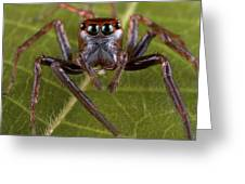 Jumping Spider Papua New Guinea Greeting Card by Piotr Naskrecki