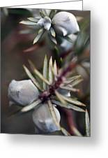 Juniper Berries Greeting Card
