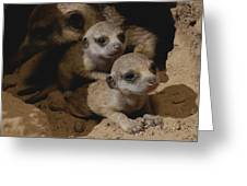Just Waking Up, Two Meerkat Pups Greeting Card