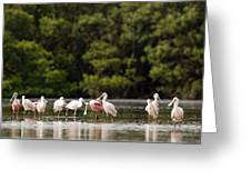 Juvenile And Adult Roseate Spoonbills Greeting Card