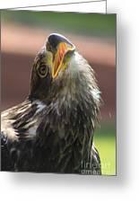 Juvenile Bald Eagle Greeting Card