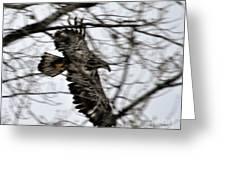 Juvenile Bold Eagle Greeting Card