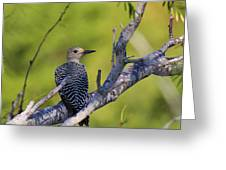 Juvenile Golden-fronted Woodpecker Greeting Card