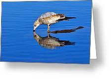 Juvenile Ring-billed Gull  Greeting Card