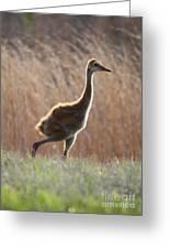 Juvenile Sandhill In The Marsh Greeting Card