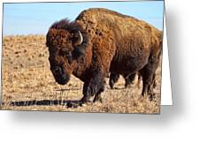 Kansas Buffalo Greeting Card
