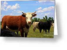 Kansas Country Cow's With Blue Sky And Grass Greeting Card