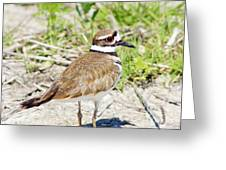 Killdeer Pose Greeting Card by Lynda Dawson-Youngclaus