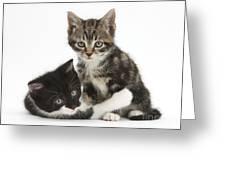 Kitten Pals Greeting Card
