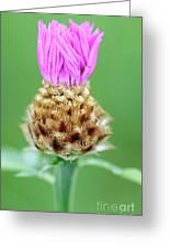 Knapweed Flower Greeting Card